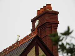 Cockatoos on the lookout (Lesley A Butler) Tags: victoria sunbury caloola australia