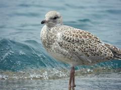 Juvenile Seagull (NaturewithMar) Tags: seagull young juvenile lake michigan chicago illinois water bird sea ocean beach wave