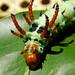 Citheronia regalis L5
