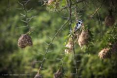 Mweya, Uganda, 2017 (Catherine Gidzinska and Simon Gidzinski) Tags: 2017 africa africans eastafrica june uganda akacia bird kingfisher nest spike spikes wildlife ngc