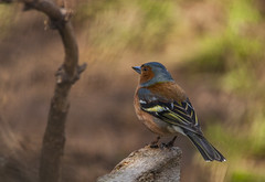 Common chaffinch (y.mihov, Big Thanks for more than a million views) Tags: common chaffinch animals bird nature feathers wings outdoor sonyalpha sightseeing sigma 150500mm englanduk