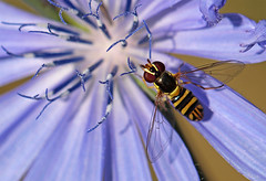 Hover Fly on Chicory (TomIrwinDigital) Tags: hoverfly hover fly chicory insect