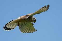 Kestrel Falco tinnunculus - Hunting (Barbara Evans 7) Tags: kestrel male in flight oakley hants uk barbara evans7 falco tinnunculus hunting