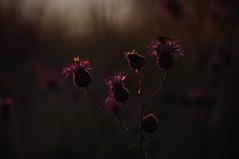Dancing In The Dark (MeEvita) Tags: nikon d300 photography nature sunset flowers bokeh summer gotland evam