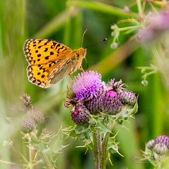 Newburgh Aberdeenshire 11 July 2018 00013.jpg (JamesPDeans.co.uk) Tags: forthemanwhohaseverything gb greatbritain insects darkgreenfritillaryargynnisaglaja unitedkingdom newburgh scotland aberdeenshire butterfly nature wwwjamespdeanscouk printsforsale britain europe landscapeforwalls jamespdeansphotography uk digitaldownloadsforlicence