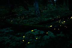 Fireflies (kat-taka) Tags: bug forest green tree light firefly nature
