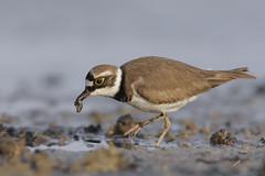 Corrier piccolo (mauro.santucci) Tags: corrierpiccolo charadriusdubius limicoli uccelli uccello bird avifauna natura birdwatching wildlife wild