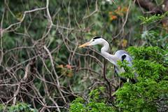 Grey Heron in Taipei (Gomen S) Tags: animal wildlife nature nikon d500 asia tropical bird 80400mm taiwan taipei park spring 2018