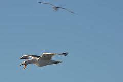 Che ti strilli?? (Il cantore) Tags: gabbiano seagull volo volare fly flying cielo sky azzurro blu blue due two uccello bird becco beak aperto open strillo scream