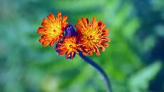 Orange Hawkweed, Forest Hill Pond, 06/14/18 (TonyM1956) Tags: elements wildflower duluth minnesota sonyalphadslr