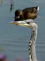 Grey Heron close up 19.7.18 (ericy202) Tags: greyheron young bird water