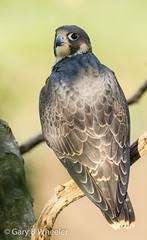 Peregrine (Ponty Birder) Tags: g b wheeler garywheeler pontybirder peregrine birds england