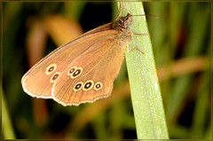 ringlet butterfly wings closed (2) (bobspicturebox) Tags: himalayan balsam lady bird bugs slow worm musk beetle potato capsid shield bug larva snail fungus