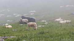 Moutons dans la brume - Sheeps on the mist (Nicolas Rouffiac) Tags: mouton moutons sheep sheeps brume brouillard mist fog nature alpage montagne moutain