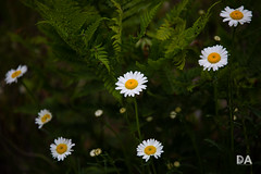 Ferns and Daisies (Thousand Word Images by Dustin Abbott) Tags: 2018 lens blossoms alienskinexposurex3 adobelightroomcc canon5d4 thousandwordimages daisy dustinabbottnet tamron70210mmf4divcusd wildflower comparison dustinabbott review photography petawawa withmytamron canoneos5dmarkiv 5dmarkiv ontario canada test pembroke adobephotoshopcc photodujour ca