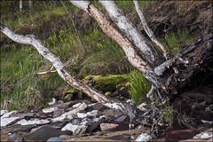 20180521. Pakri peninsula. Leetse. 3530 (Tiina Gill (busy)) Tags: estonia harjumaa pakripeninsula pakripoolsaar leetse outdoor spring nature birch tree