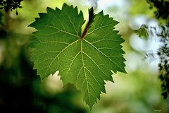 """MacroMondays"" Lines Symmetry (kiareimages1) Tags: macromondays linessymmetry macro macrophoto photosmacro vignes vigneto vineyard leaves foglie feuilles"