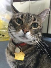Tigger's Beauty Pose (sjrankin) Tags: 22june2018 edited animal cat tigger closeup portrait floor kitchen yubari hokkaido japan