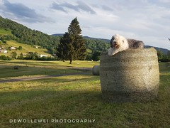 "Scarett's midsummer picture ""explore"" (dewollewei) Tags: explore explored exploreddogs oes scarlett oldenglishsheepdogs sheepdogs bobtail hay harvest countryside franche vosges menil lemenil samsungs8 samsung old evening light ball summer"