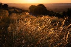 Golden Glow Sun (steveh011) Tags: canon 1300d wind gold yellow field grass sun sunset tree wheat glow evening landscape scene portsdown hill countryside uk country rural ngc twop
