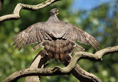 1S9A4184 (saundersfay) Tags: sparrowhawks hot cooling feathers preening birds trees woods