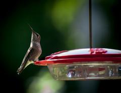 Hummer Posing (Mule67) Tags: hummer hummingbird feeder birds feeding