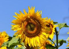 Les tournesols sont de retour (Diegojack) Tags: belmontsuryverdon vaud suisse d7200 nikon nikonpassion campagne plantes fleurs tournesols