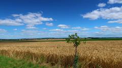 Landscape near Hradec Kralove (ZdenHer) Tags: landscape hradec kralove tree field clouds sky blue grain grass czechrepublic canonpowershotg7xmarkii