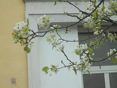 1309 (en-ri) Tags: ramo branch bossoli blossoms biianco tree albero foglie leaves verde sony sonysti