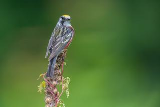 Chestnut sided Warbler