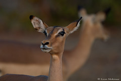 What was it you wanted? (leendert3) Tags: leonmolenaar southafrica krugernationalpark wildlife nature mammals impalaantelope ngc npc coth5
