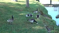Bernaches nonnettes (Jean-Daniel David) Tags: vidéo nature lathièle oiseau oiseaudeau oie oiesauvage bernache bernachenonnette yverdonlesbains suisse suisseromande vaud animal pelouse herbe rivière famille