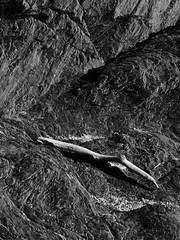 L1070039.jpg (Paul T. Marsh/PositivePaul) Tags: paulmarshphotography paultmarsh leicad3 victoriabc april2018 vancouverisland leicadigilux3 lightroomcc olympus40150mmlens springvacation canada pacificnorthwest britishcolumbia wwwpaulmphotographycom 2018