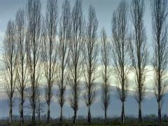 Alamos en Pirque (Jaime Villaseca) Tags: nature landscape trees 4x5 toyo