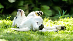 Relaxing (charlottehenriksen2) Tags: dog goldenretriever dogportrait puppy