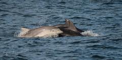 dolphins (explored) (Bart Hardorff) Tags: 2018 barthardorff engeland farneeilanden uk juni embleton england verenigdkoninkrijk gb tuimelaar dolfijn