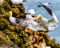 Northern gannet-Morus bassanus landing-8796 (George Vittman) Tags: bird subject gannet landing flight nikonpassion wildlifephotography jav61photography jav61 fantasticnature