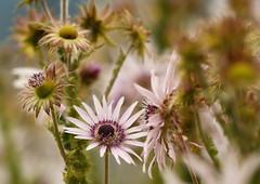Botanischer Garten Innsbruck (Ernst_P.) Tags: austria aut botanischergarten innsbruck österreich tirol pflanze blume blüte samyang walimex 135mm f20 bokeh flor flower fleur autriche tyrol