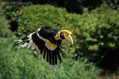 Hornbill at Avifauna Holland. (Ronald Dubbeldam) Tags: hornbill neushoornvogel avifauna birds vogels