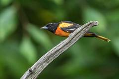 Oriole on a stick (jim sonia) Tags: bch birds oriole bird
