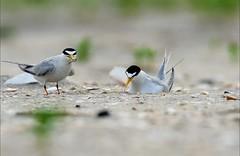 Least tern feeding chick (suraj.ramamurthy) Tags: nikkor500mm nikond500 longislandbeaches leasttern