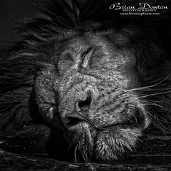 Sleepy Head (brian.m.denton) Tags: lion bigcat mammal closeup blackandwhite monochrome greyscale sleepinganimal animal wildanimal briandenton timecapturer wwwtimecapturercom sonya850dslr sony70400mmgssmii
