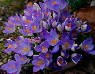 Blumen, Blüten - flowers and blossoms, Natur, effect- serie , Krokus ,  76356/10306