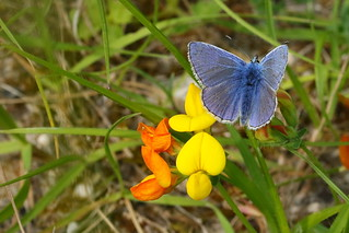 Common Blue Butterfly on Birdsfoot Trefoil at Portsdown Hill Chalk Pit, Hampshire, UK