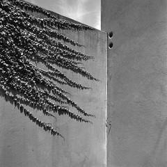 Manifest destiny (Tpstearns) Tags: wall plants film blackandwhite monochrome acros hasselblad 500cm 50mmf4 square 120 6x6 mediumformat
