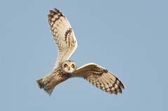 Short-eared Owl_8977 (Bob Scribner) Tags: 600mmf4 nikond500 april presqueislestatepark eriecounty pennsylvania usa shortearedowl asioflammeus owl birds wildlife animals