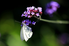 My first butterfly this year (eleni m) Tags: butterfly witje kleingeaderdwitje veinedwhite backyard nature outdoor flowers purple green insect pierisnapi summer happy busy dof macro shadow wings plant