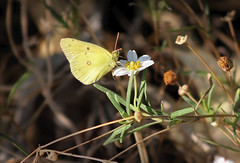 Clouded Sulphur (Monkeystyle3000) Tags: yellow butterfly insect clouded sulphur