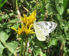 Western White, Pontia occidentalis (ruthzachary) Tags: blackhills hannacampground southdakota