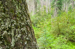Turkey Creek forest II (jamesdelbertanderson) Tags: umatillanationalforest wenahatucannonwilderness forest easternwashington inlandnorthwest bluemountains turkeycreektrail washington